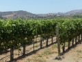 Vines in the Santa Rita AVA